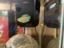 Live fish Gourami Dwarf turquoise blue with orange-red stripes