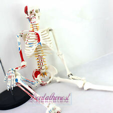 85cm Human Anatomical Anatomy Skeleton Medical Model Muscle +Fexible Stand