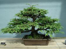 Coast Redwood - SEQUOIA SEMPERVIRENS - 12 Seeds Tree