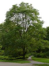 Kentucky Coffee Tree Gymnocladus dioica Established Roots 2 Gallon Trade 1 Plant