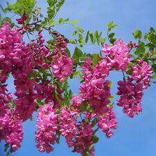 ROSEN-AKAZIE 15 Samen ROBINIA FERTILIS Robinie WINTERHART Bristly Locust seeds