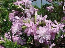 Winterharte Seifenblume langblühende Riesenblüten & Duftwunder bis 1 Meter Samen