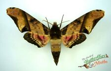 Amplypterus panopus  SET x1 Male Mango hawk-moth A- Entomology artwork Scarce