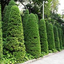 50 Cypress Tree Seed Platycladus Oriental Arborvitae Coniferous Home Garden Yard
