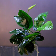 Anubias nana 48~64 leaves- Live aquarium water plants low light