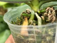 Novelty Phal Phalaenopsis Mini Mark-Doubke Spikes-Joseph Wu Orchids-Super Rare