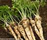 VEGETABLE - SEED TAPE 6 meters - PARSLEY ROOT - 420 seeds very easy sow