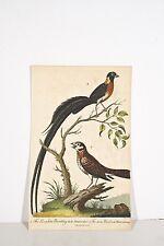 Gravure ancienne 1802 The Paradise bunting Oiseau du Paradis ? Plumage été/hiver