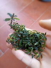 Bucephalandra Mini Belindae rizoma di7cm(foto indicativa)