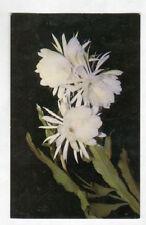 TAHITI (POLYNESIE) Fleurs locales BELLES-DE-NUIT / carte postale