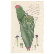 Curtis Botanical Mag antique 1829 hand-colored engraving Pl 2892 Billbergia
