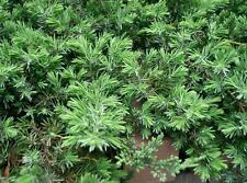 Blue Pacific Juniper, Bonsai starter plants, Evergreen