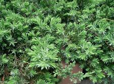 Blue Pacific Juniper, Bonsai starter plant, 100 plants, Evergreen, FREE delivery