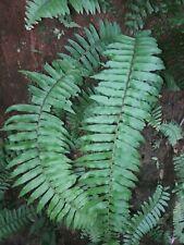 30 Live Boston Fern Plants Roots Houseplant Air Purifier