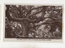 The Giant Walnut Tree The Elms High Street Minster Kent Vintage RP Postcard
