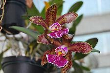 C. schilleriana 'SANDERIANA' Cattleya Orchidée jeune plante seedling