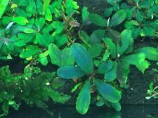 Bucephalandra Plant (1 Plant) Rare Live Aquarium Plants Freshwater Planted Tanks