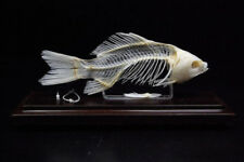 Real Fish skeletons taxidermy specimen good quality Special home deco