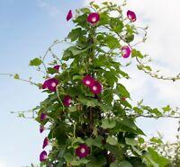 350 Samen Ipomoea purpurea Crimson Rambler Morning Glory Saatgut, Prunkwinde