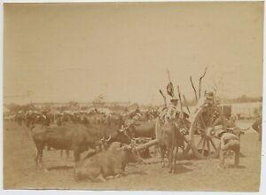 Galicia Spain Cow boy with Buffaloes Gallegos Original albumen photo 1890c L772