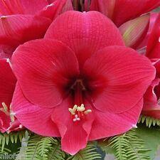 Amaryllis Hippeastrum BRAZZA  UNIQUE sur eBay.be 10 Graines 10 Zaden Seeds