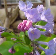 5 Virginia Bluebells bare roots  Native Plants Bare root stock