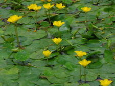 3 Nymphoides Peltata, (mini yellow water lily) pond plants