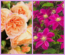 Climbing Rose Bare Root and Clematis Classic Mix, Apricot Rose & Pink Clematis
