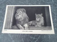 LION+LIONESS Postcard Photo by F W Bond, From Zoological Society of London §E781