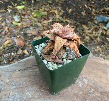 Beautiful Big A+ Aloe Castilloniae 3 Heads Rare Madagascar Flowering Size