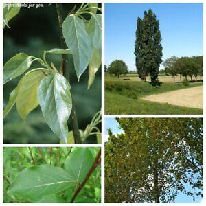 20 Poplar Tree Seeds Populus 5 Kinds Beautiful Fragrant Perennial Garden Plants