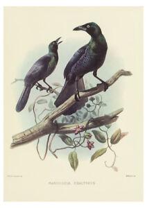Manucodia Chalybeus (Bird of Paradise) by J. Wolf & J. Smith A2 Art Paper Print