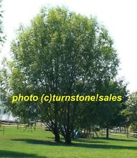 4 ft Foot Tall Hybrid Willow Tree Fast Growing Shade Screen Windbreak Austree