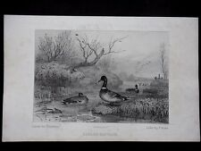 GRAVURE  CHASSE 19e - CANARDS SAUVAGE - VERS 1850