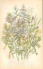 1860 ca Antico Botanico Stampa-Anne PRATT-Veccia varietà, loglio
