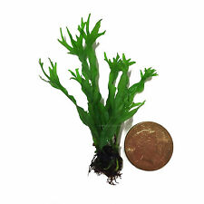 Microsorum Windelov Rhizome Lace Java Fern Live Aquarium Plants BUY2GET1FREE*