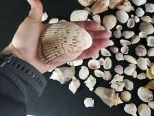Lot of  Seashells Collection of Various Sizes and kinds Big and small Lot B