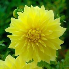 Kelvin Floodlight Dinnerplate Dahlia - 2 Bulb Clumps Yard Plant Flowers Bonsai