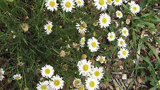 Brachyscome aculeata - Hill Daisy - 15 seeds