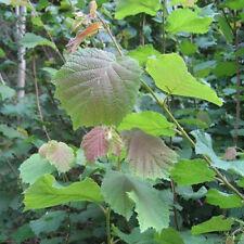 4 x Hazel Trees Seedling Sapling 30-50cm Hazelnut (Corlyus avellana)