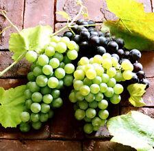 1 Pack 50 Mixed Grape Seeds Vitis Vinifera Vine Delicious Organic Fruit S019