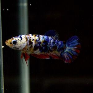 Live Betta Fish FeMale Multicolor Premium Thailand