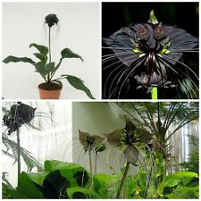 10 seeds Tacca chantrieri, Bat Plant or Devil Flower, seed R