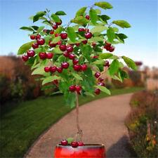 Fruit seeds 30pcs Cherry Seeds Tree UK Bonsai Tree Seeds, Home Garden Potted Pla