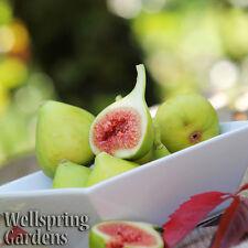 HARDY FIG FRUIT TREE 'Kadota' Live Plant White Endich Florentine Honey Dattero