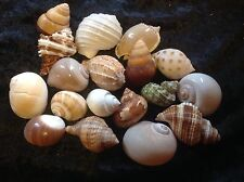 Hermit Crab Shells X 6 Size Opening 1cm To 3 Cm Mixture Of Colours And Sizes
