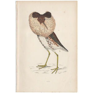 Morris Birds antique 1863 hand-colored engraving print Pl 228 Ruff