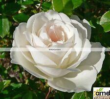Pianta di Rosa Virgo Bianca (vera) PROFUMATA in vaso quadro cm 22 FOTO REALE