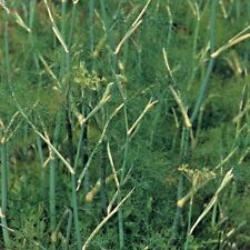 Herb Fennel Common - 200 seeds