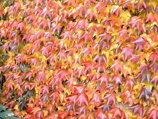 Parthenocissus Tricuspidata-giapponese Creeper. Ivy. ROSSO nell' autunno 25 semi